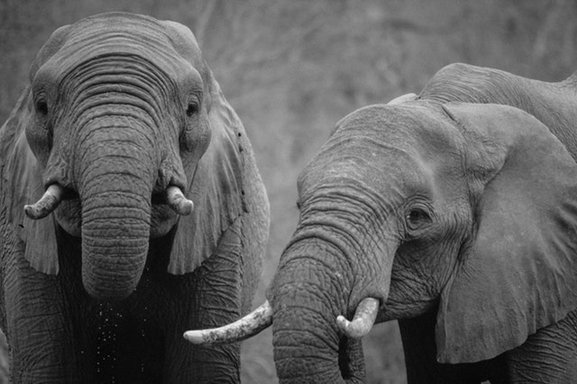 africa-animals-black-and-white-16023