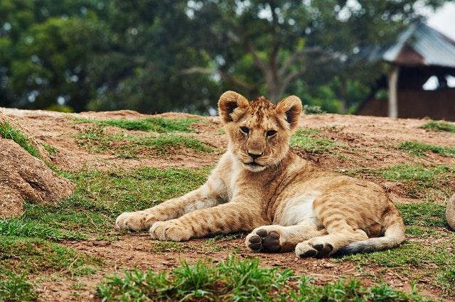 animal-cute-lion-107506