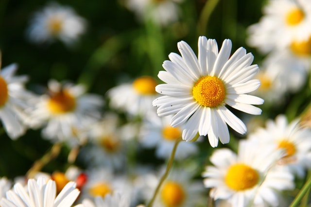 flowers-meadow-white-flower-59984