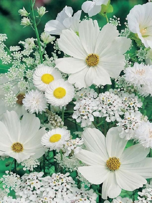 Wild-Flowers-Beautiful-for-an-all-white-Moon-Garden.....Cosmos-Allyssum-Queen-Anne39s-La